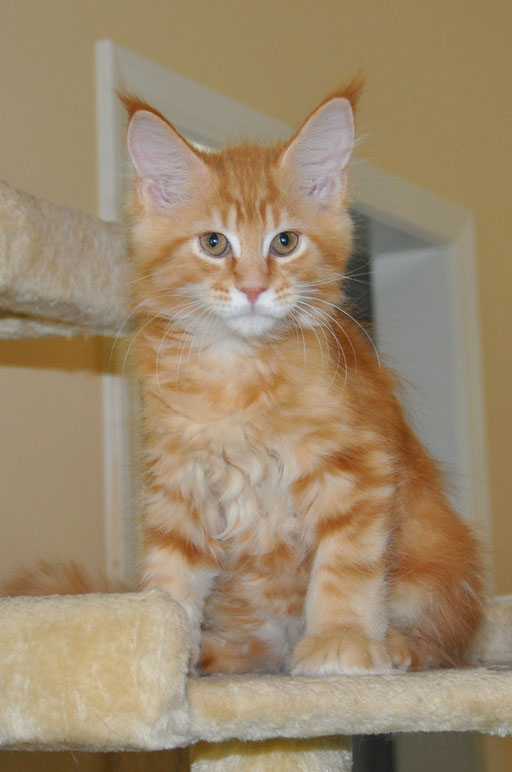 Jagger, red classic tabby, male