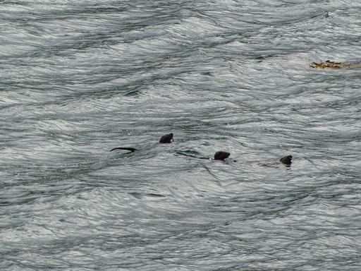 Drei Otter beim Spielen