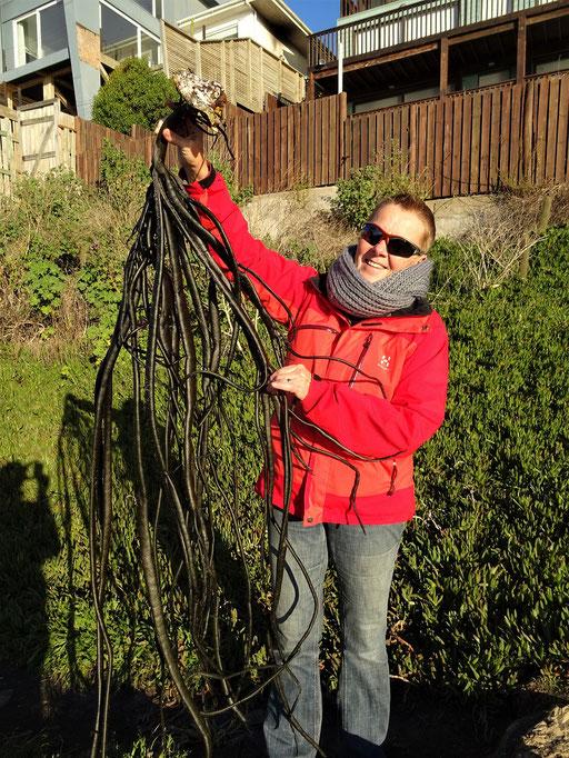 Riesige Meeralgen - können bis zu fünf Meter lang werden