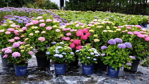 ©Magical Four Seasons - Variétés des hortensias - Tournage Patrick Mioulane - Pépinière Goarant Kerisnel