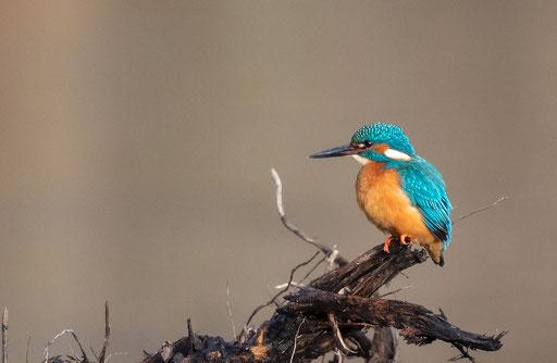 Eisvogel - Foto: Brian Dorling