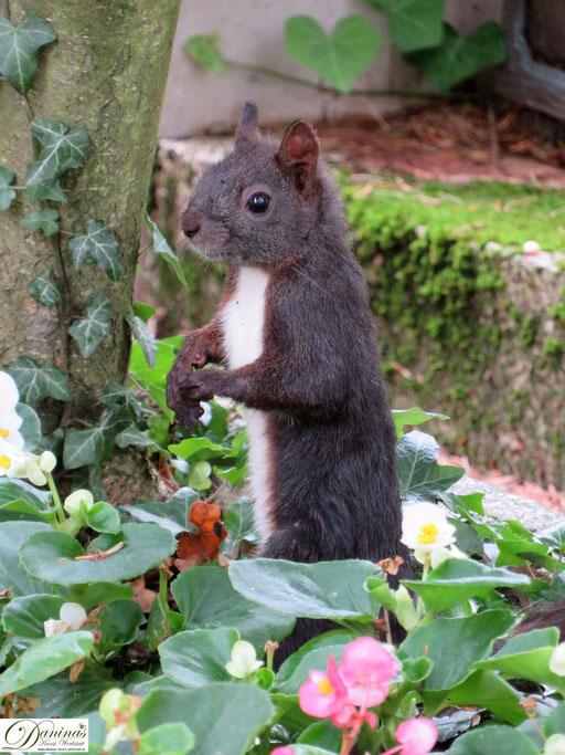 Eichhörnchen im Blumenbeet