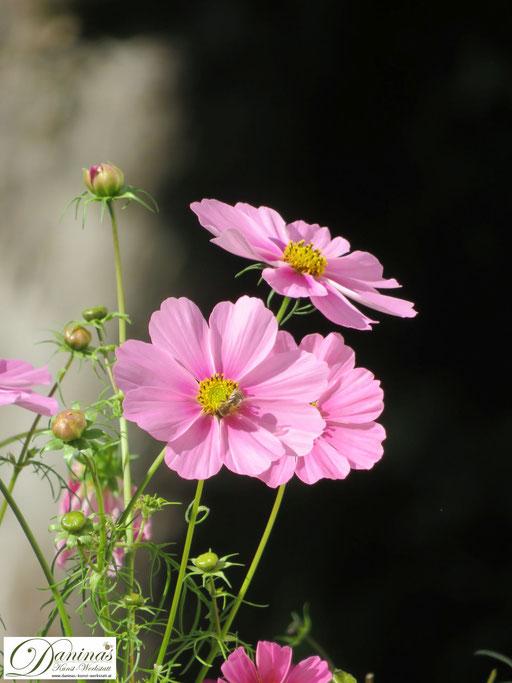 Im Naturgarten blühen alle 4 Jahreszeiten nektarreiche Pflanzen wie das Schmuckkörbchen (Cosmea) im Sommer