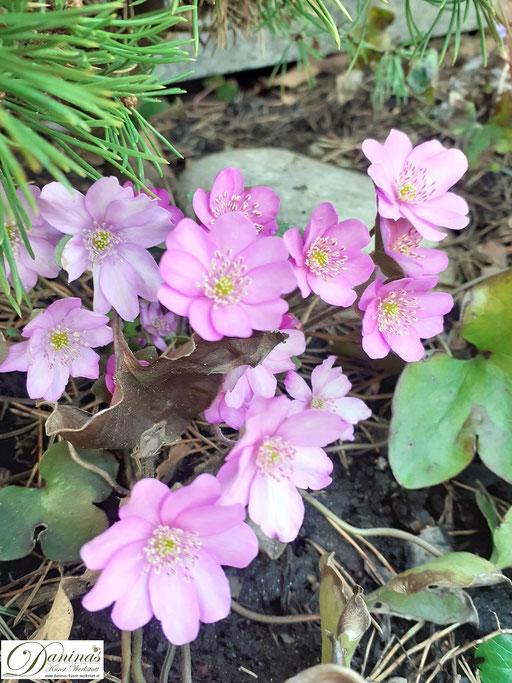 Rosafärbiges Leberblümchen