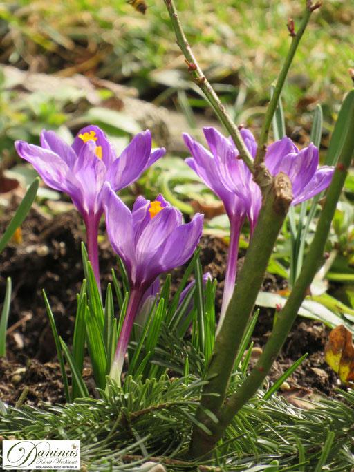 Im Naturgarten blüht es alle 4 Jahreszeiten, wie nach Winterende die nektarreichen Krokusse
