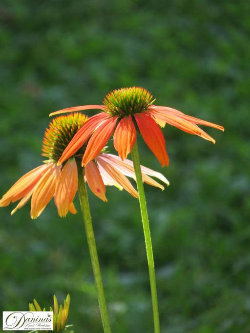 """Inspiriert von den Farben des Herbstes: orange Herbstblüher """"Echinacea"""""""