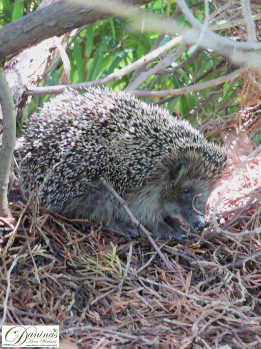 Artensterben verhindern, Igel schützen und in den naturnahen Garten locken