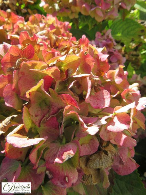 Inspiriert von den Farben der Natur: rosarote Hortensienblüten