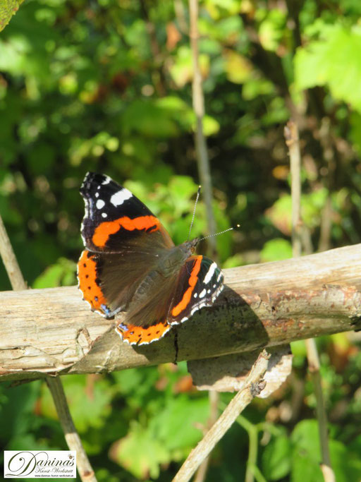 """Inspiriert von den Farben des Herbstes: Oranger Schmetterling """"Admiral"""""""