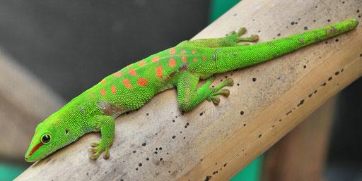 Phelsuma, Madagascar day Gecko