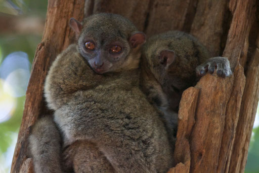 Sleeping night active lemurs. They have no eye sleeves, so they are sleeping with their eyes wide open.