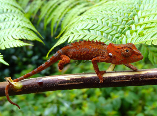One of the smallest Chameleons in Madagascar