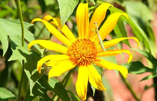 Praying mantid sitting on a sort of sunflower