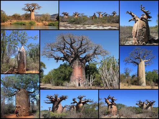 Baobabs, Westcoast