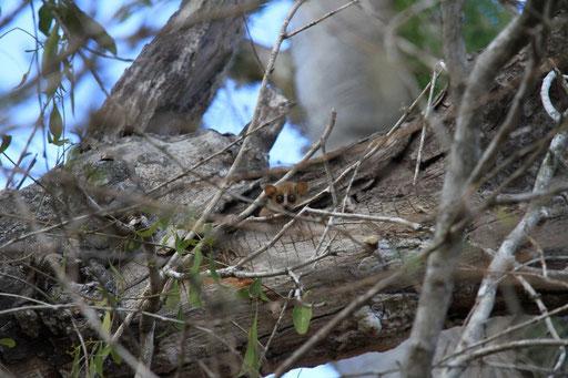 Lemur mouse