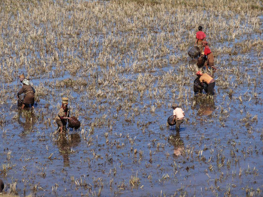 """Rice fields used for fishing the small """"pirna"""" during the dry season"""