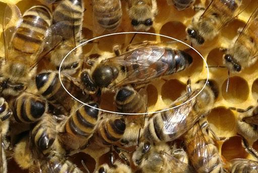 Bienenkönigin im Bienenvolk