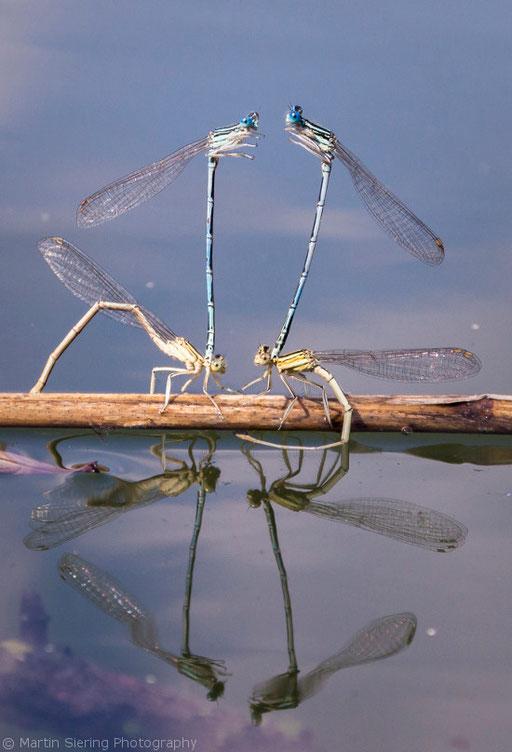 Libellen bei der Eiablage, Brandenburg © martinsieringphotography