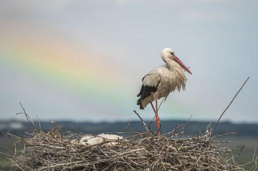 Storch + Regenbogen © martinsieringphotography