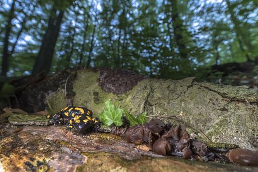 Feuersalamander Thüringer Wald © martinsieringphotography