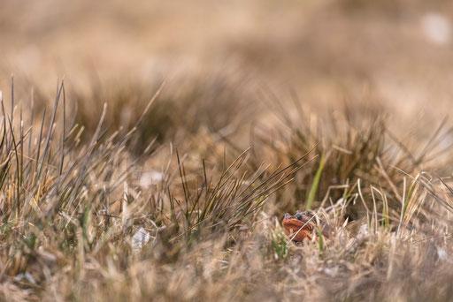 Moorfrösche auf einer Feuchtwiese im Oberallgäu © martinsieringphotography