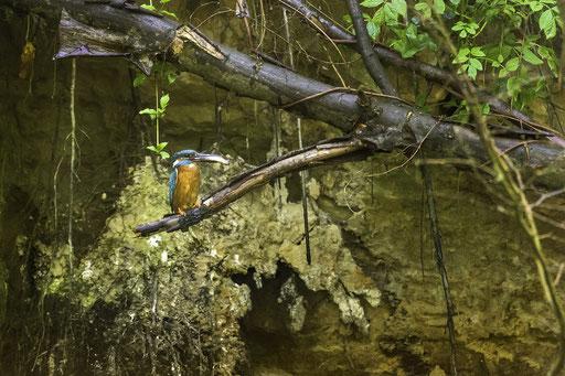 Der Eisvogel im Biospärenreservat Spreewald  © martinsieringphotography