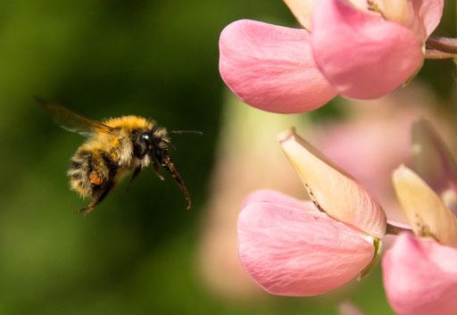 Gehörnte Mauerbiene beim Anflug - Berlin © martinsieringphotography