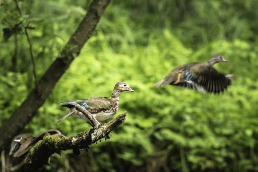 Ein mir unbekannte Entenart im Spreewald  © martinsieringphotography