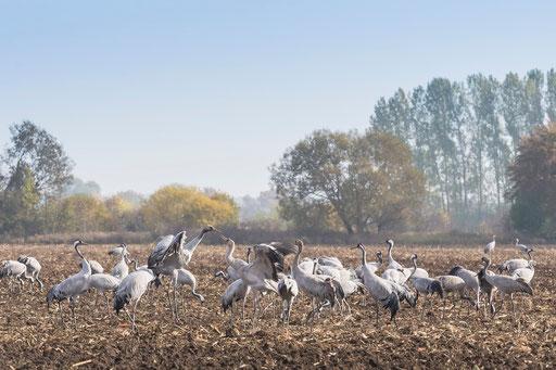 Rastplatz für bis zu hundertausende Kranichen im Oktober - Linum, Brandenburg  © martinsieringphotography