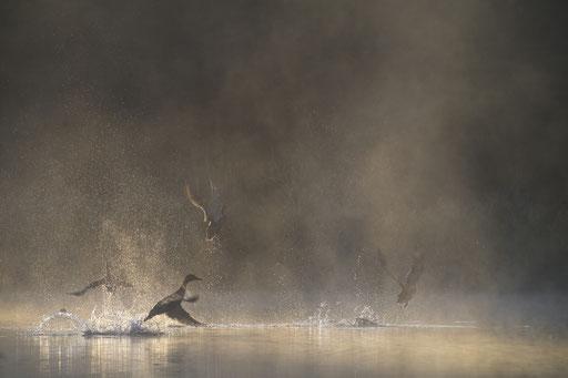 Stockenten im Gegenlicht© martinsieringphotography