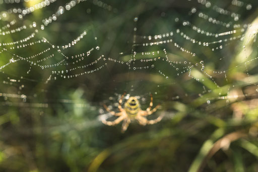 Netz einer Zebraspinne © martinsieringphotography