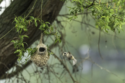 Beutelmeise im Anflug - Biospärenreservat Spreewald  © martinsieringphotography