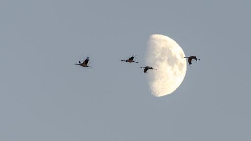 Kraniche und Mond im Linumer Bruch © martinsieringphotography