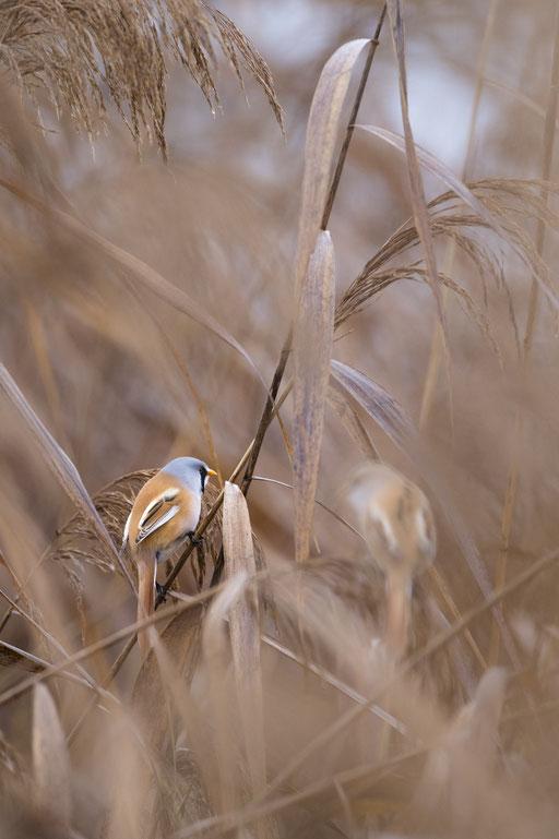 Bartmeisen im Naturschutzgebiet Oberes Rhinluch © martinsieringphotography