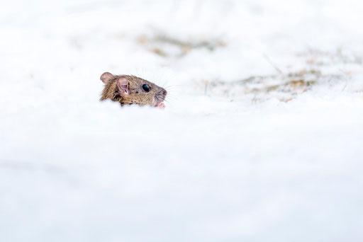 "Maus beim ""Frühjahrsputz"". Der Eingang war zugeschneit, sodass hier ordentlich Schnee geschippt wurde... © martinsieringphotography"