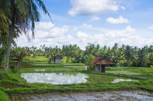 Les rizières entre Ubud et Tegalalang