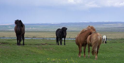 Ces superbes chevaux sont très présents en Islande.