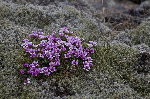 Une des nombreuses variétés de fleurs croisées en Islande