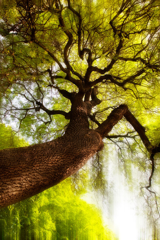 Frêne à feuilles étroites vert pâle, Fraxinus angustifolia, Famille des Oléacées. © Annick Maroussy