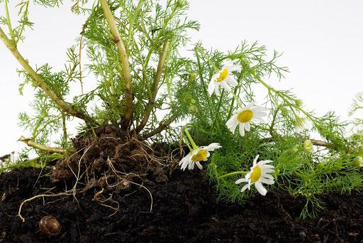 Herbier vivant, Camomille,  © Annick Maroussy