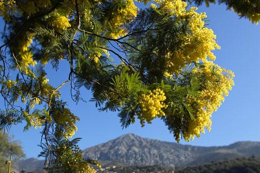 Mimosa, Citronneraie du mas Flofaro, 06 MENTON (© annick maroussy)