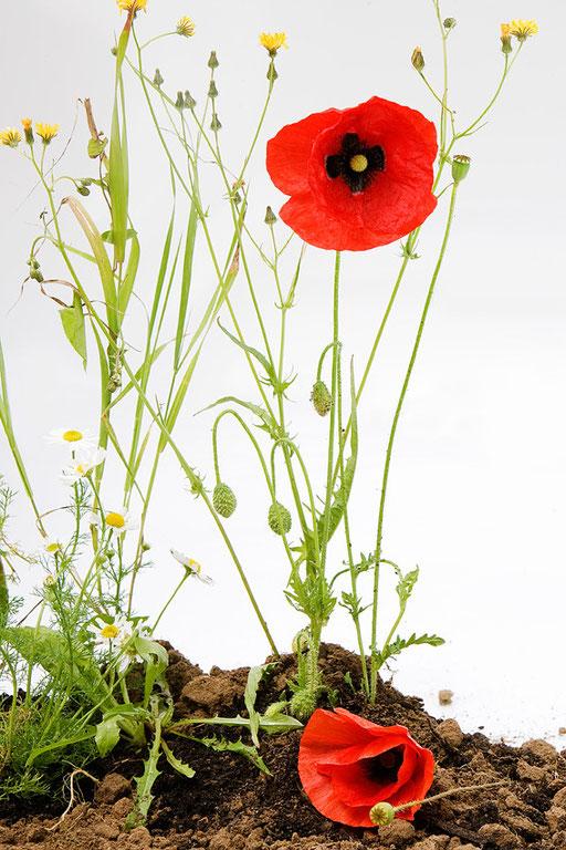 Pavot coquelicot, papaver rhoeas, © Annick Maroussy