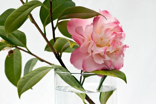 Camélia, Camellia, © Annick Maroussy