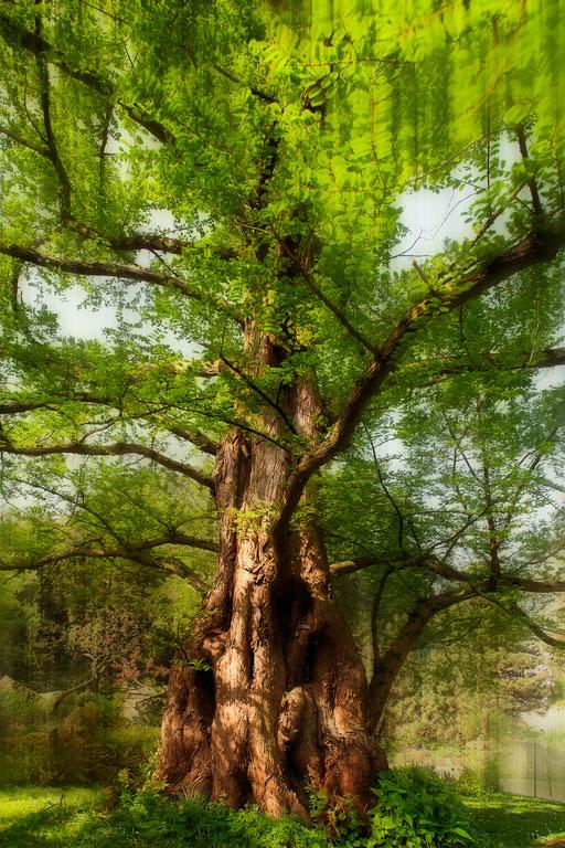 Métaséquoia de Chine, Metasequoia glyptostroboides, Famille des Taxodiacées. © Annick Maroussy