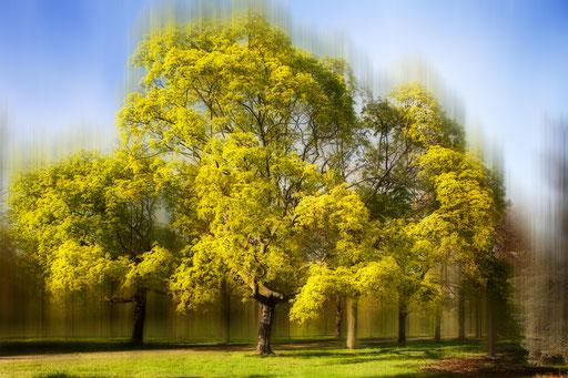 Érable plane, Acer platanoides. Familles des Acéracées. © Annick Maroussy