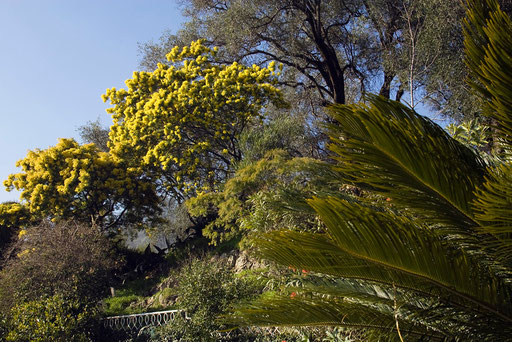 Cicas, Mimosa, Olivier, La Citronneraie du mas Flofaro, 06 MENTON (© annick maroussy)