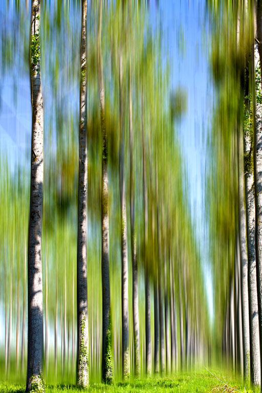 Allée de peupliers,  Populus, Famille des Salicacées.© Annick Maroussy