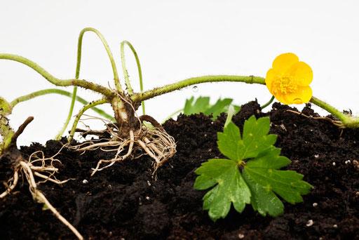 Herbier vivant, Renoncule bouton d'or, Ranunculus acris, Famille des Renonculacées, © Annick Maroussy
