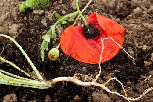 Herbier vivant, Pavot coquelicot, papaver rhoeas, © Annick Maroussy