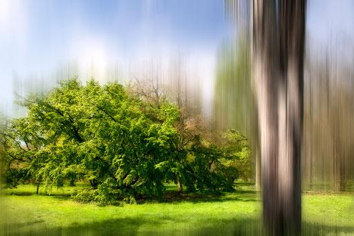 Charme pleureur, Carpinus betulus, 'Pendula', Famille des Bétulacées. © Annick Maroussy